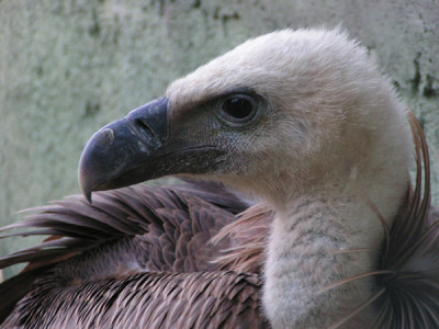 Fawn coloured vultures
