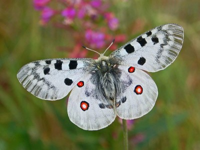 Crédit photo : https://commons.wikimedia.org/wiki/File:Papilionidae_-_Parnassius_apollo-1.JPG
