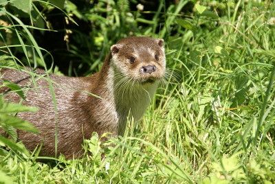 Photo : Fabrice CAPBER (https://commons.wikimedia.org/wiki/File:Loutre_europ%C3%A9enne.jpg)